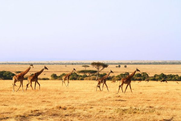 Safari Adventures in Africa - Maasai Mara Kenya Safari to Watch Great Journey of Animals