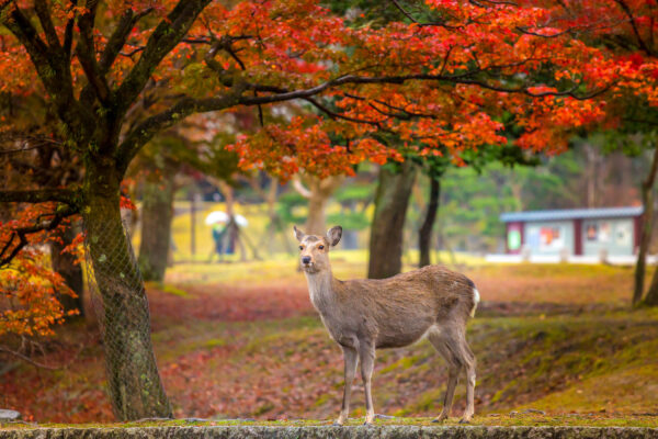 Asia Travel Guide - Nara is Less Than An Hour's Drive From Kyoto And Has Tōdai-ji Temple