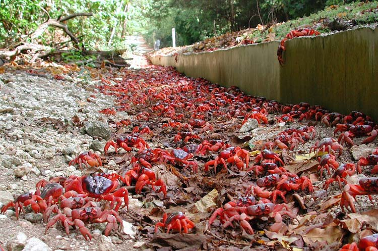 Best of Australian Islands to Visit - Christmas Island Famous For Red Crabs
