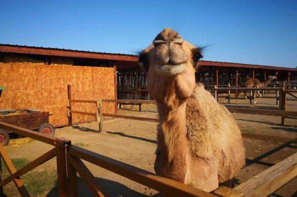 Sunny Beach Bulgaria - Camel Park Sunny Beach Offers Camel Rides And Exotic Bird Park