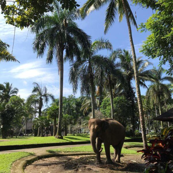 Elephant Safari Park Lodge Bali is in Ubud- Experiencing Indonesian Bali Island As A Bali Tourist