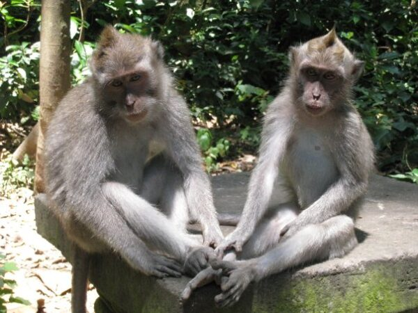 Sacred Monkey Forest Sanctuary Receives Many Tourists From All Over The World - Experiencing Indonesian Bali Island As A Bali Tourist