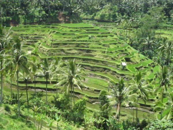Tegallalang Rice Terrace have Fertile Soil - Experiencing Indonesian Bali Island As A Bali Tourist